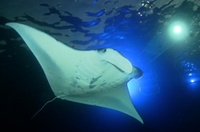 Manta Ray Night Snorkel: Big Island, Hawaii